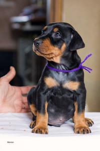 male-violet2